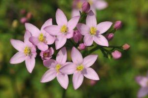 Centaury – Centaurée : la fleur de Bach pour les « trop gentils », les serviables à l'extrême, qui ne savent pas dire non.