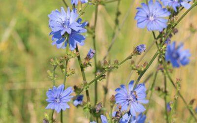 Chicory – Chicorée : la fleur de Bach des personnes protectrices à l'excès, qui veulent tout contrôler.